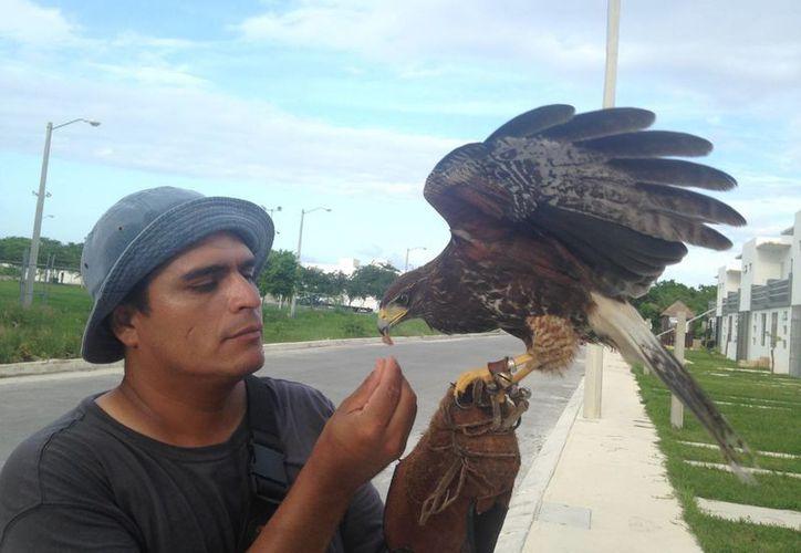 Hoteleros y restauranteros de la Riviera Maya contratan los servicios de un entrenador de halcón para ahuyentar a otras aves pequeñas que invaden sus locales.  (Luis Ballesteros/SIPSE)