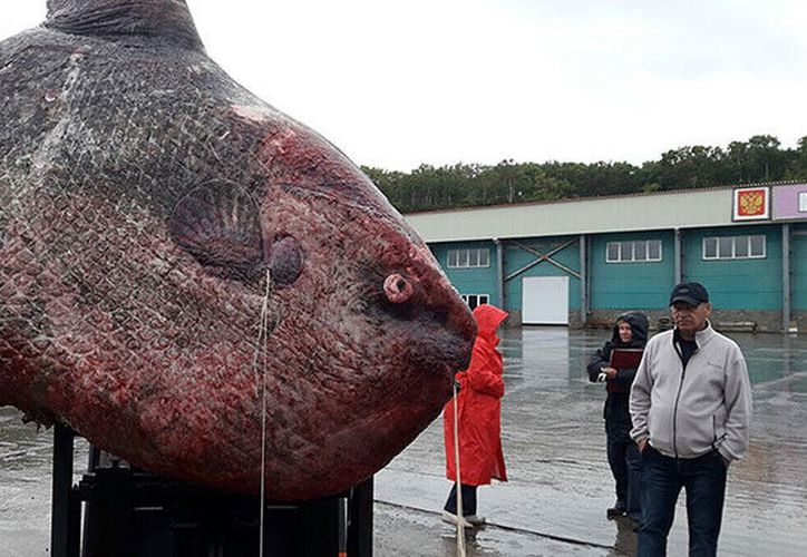 Unos pescadores de las islas Kuriles, en el Pacífico ruso, capturaron un descomunal pez luna de 1.100 kilos. (sakhalin.Info).