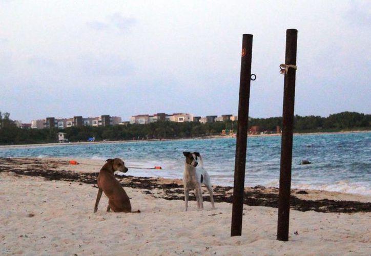 En Playa del Carmen está prohibido llevar perros a la playa, sin embargo hay quienes hacen caso omiso a esta restricción. (Octavio Martínez/SIPSE)