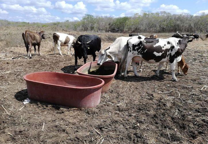 La semana pasada entregaron 50 toneladas de pollinaza a los ganaderos. (Javier Ortiz/SIPSE)