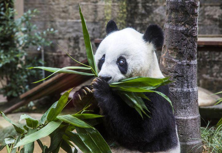 Basi nació en la selva en 1980, fue descubierta por los aldeanos después de caer en un río helado. (Foto: AP)