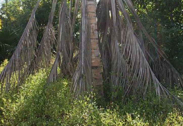 Los impactos ecológicos que tiene el ácaro rojo en las poblaciones silvestres de palma chit en Quintana Roo son severos. (Edgardo Rodríguez/SIPSE)