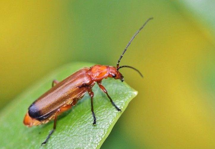 De las 446 muestras de escarabajos recolectados por los investigadores, un total de 90 resultaron infectadas por esporas de E.lampyridarum. (RT)