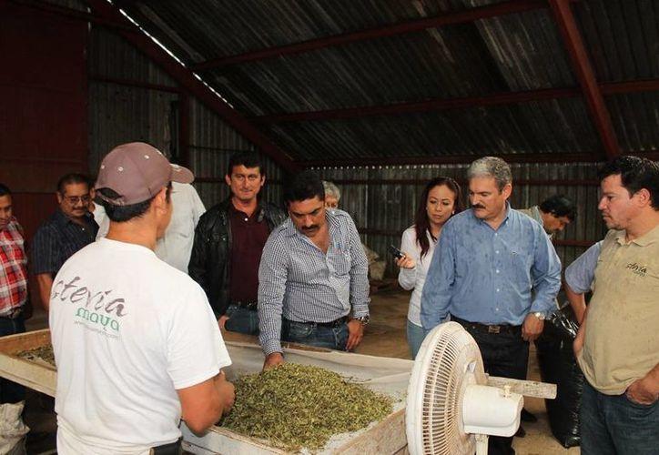 Este proyecto generaría un impacto positivo para la zona sur de Quintana Roo ya que es una de las entidades pioneras en este cultivo. (Edgardo Rodríguez/SIPSE)