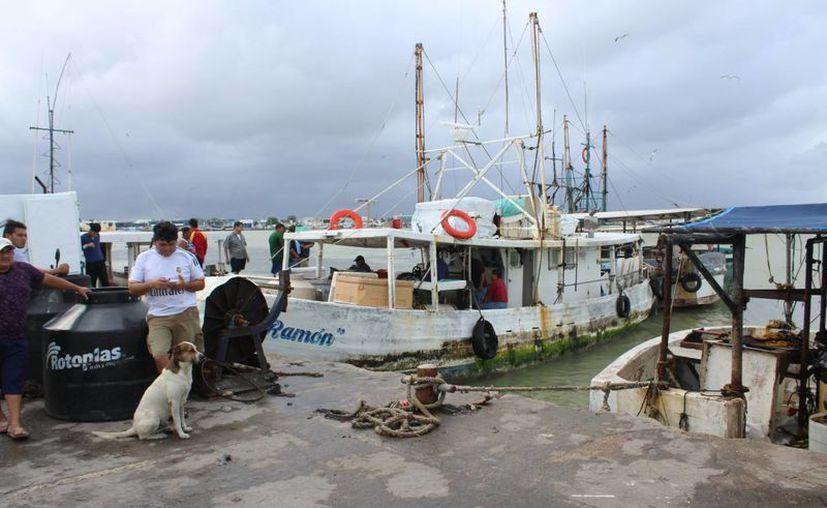 Con la segunda mejor cotización por el pulpo en la historia de Yucatán termina la temporada de captura del molusco. (Foto: Gerardo Keb/SIPSE)