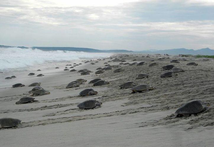 Las tortugas adultas suelen anidar y permanecer largo tiempo en las costas del Pacífico Norte. (Archivo/Notimex)