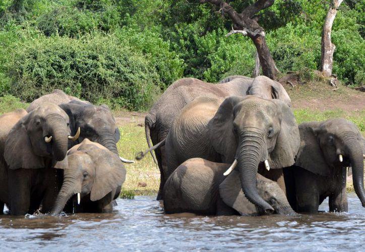 n grupo de conservación informó que la caza furtiva de elefantes ha aumentado en Botsuana, que durante mucho tiempo ha sido considerado como un refugio para elefantes en África. (AP)