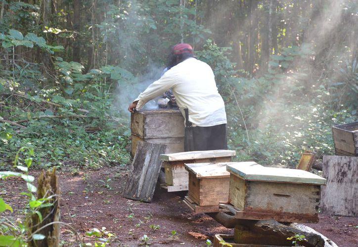 Los apicultores de Bacalar se están quedando sin abejas,  ha disminuido la población de las colmenas. (Foto: Juan Rodríguez)