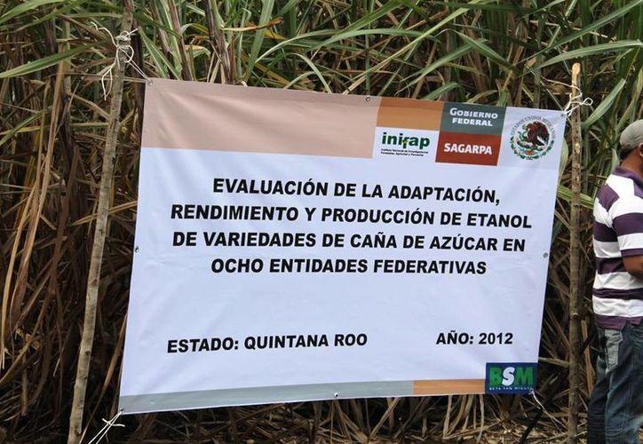 En Quintana Roo se ha evaluado la obtención del etanol. (Edgardo Rodríguez/SIPSE)