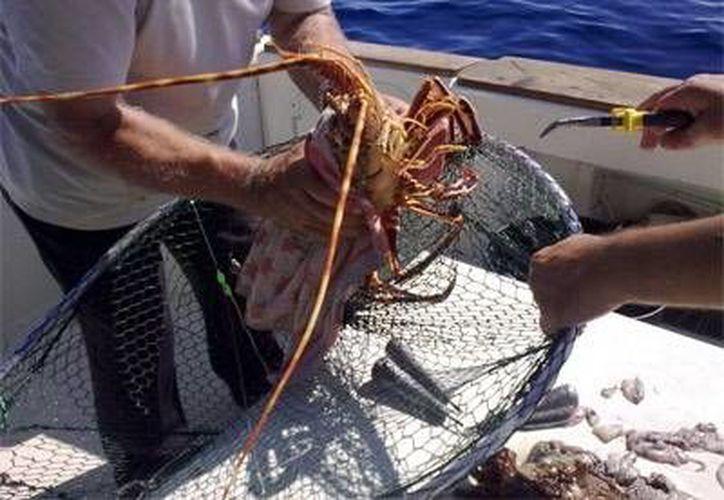 La cooperativa de 50 pescadores recibió apoyo financiero para la adquisición de equipo y tecnología para conservar a la langosta viva. Imagen de dos pescadores en la captura del crustáceo. (Milenio Novedades)