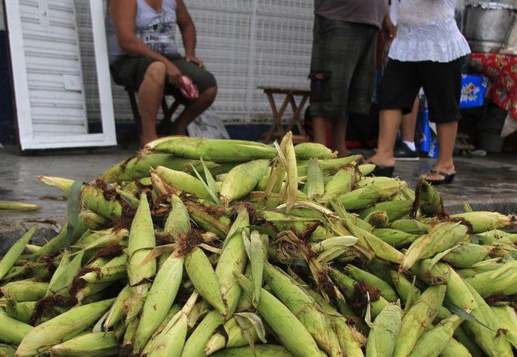Campesinos de Quintana Roo buscan la manera de diversificar sus cultivos para tener una mejor calidad de vida y no depender del maíz. (Enrique Mena/SIPSE)