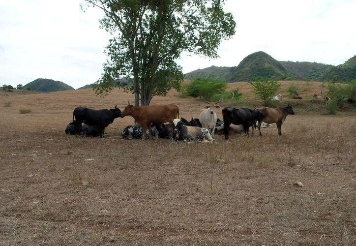 Los productores no cuentan con el suficiente alimento  para sus animales en la temporada crítica por falta de lluvias. (Joel Zamora/SIPSE)