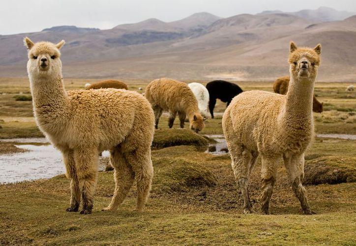 La mortandad de las alpacas podría incrementarse en los próximos días. (Contexto)