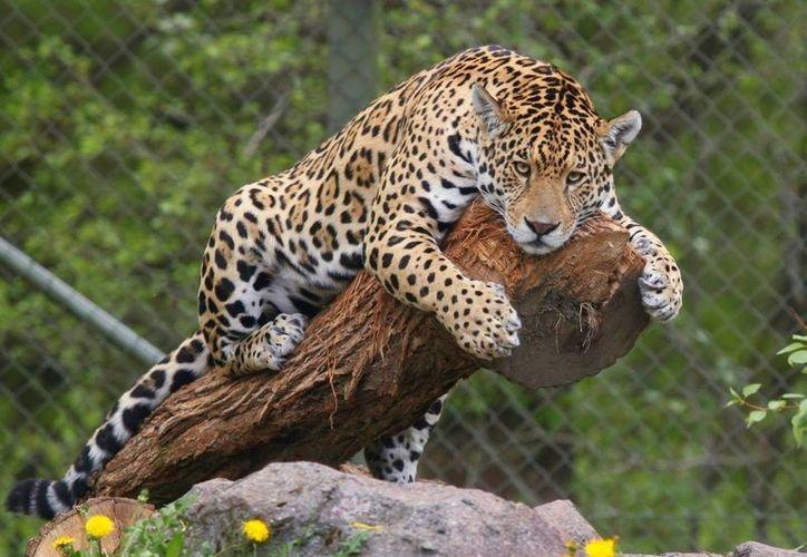 Las estrategias de la Alianza Nacional para la Conservación del Jaguar en México, buscan evitar su extinción. (Luis Soto/SIPSE)
