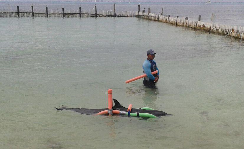 El delfín es alimentado por una sonda (licuado de calamar, vitaminas y medicamento) para reactivar su aparato digestivo y rehidratarlo.  (Foto: Milenio Novedades)