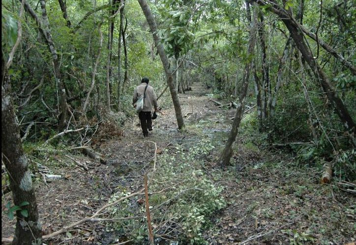 Se restaurarán con las especies de cedro, caoba, ramoón, ciricote y chacteviga. (Foto: Redacción)