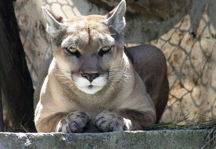 Miztli murió dentro del rango de edad normal, era considerado como un felino anciano. (Foto: Hiveminder)