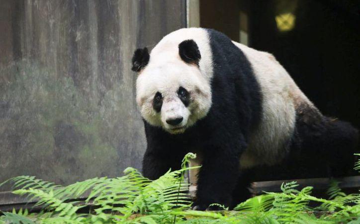 Fotografía facilitada por Ocean Park hoy, 17 de octubre, que muestra a Jia Jia, el panda más longevo del mundo, en Hong Kong (China) el pasado 7 de octubre. (EFE)