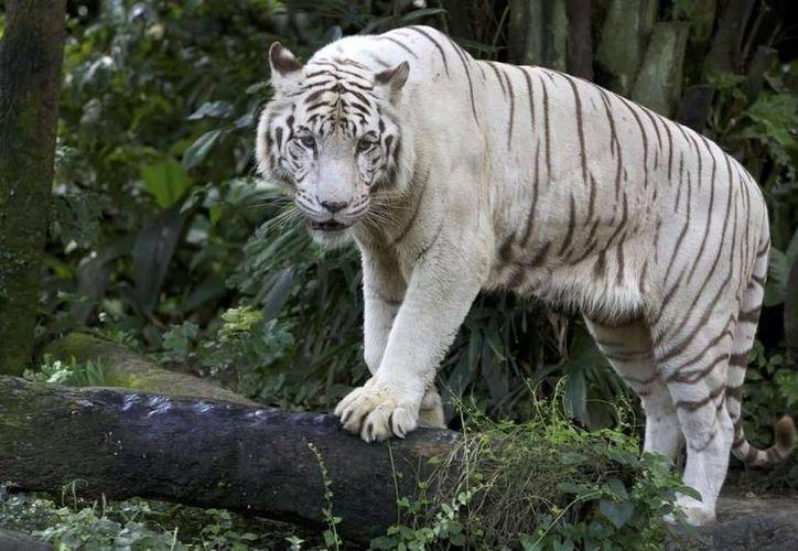La tigresa 'Shakira' murió en el zoológico Yumká, en Tabasco. La gente, en redes sociales, culpó a la administración del zoológico. (terra.com)