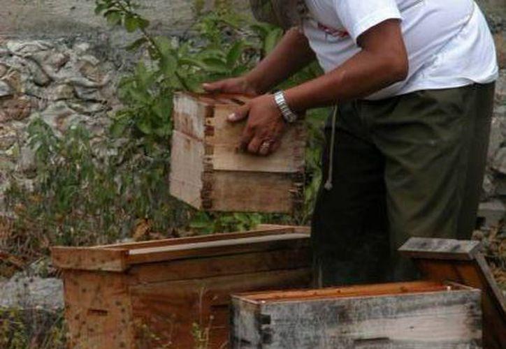 Los productores miran con frustración como las colonias de abejas se retiran de sus apiarios. (Manuel Salazar/SIPSE)