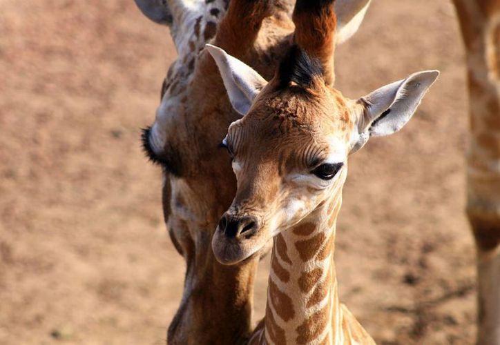 'Jiya' nació hace dos semanas en el Zoológico de Chapultepec. (Notimex/Archivo)