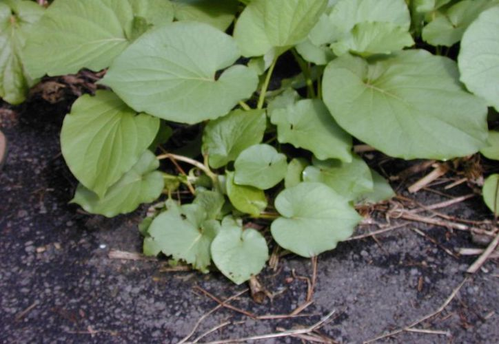 La planta Makulam (Piper auritum Kunth) ayuda a curar el dolor de estómago. (gbif.org)
