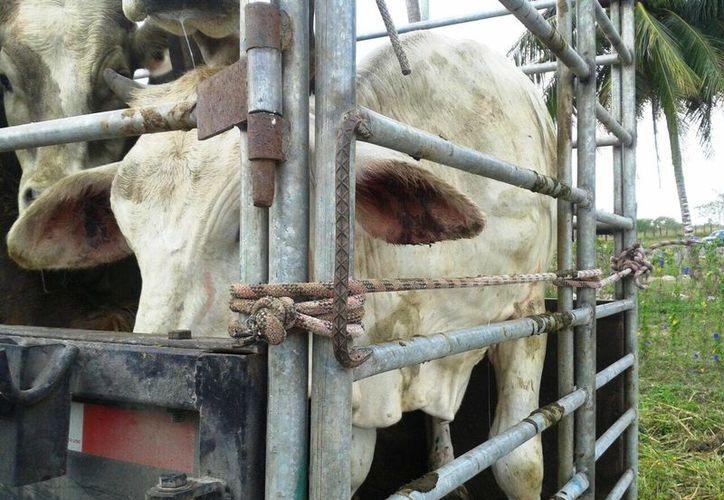 La sustracción animal de ganado continúa en aumento. (Edgardo Rodríguez/SIPSE)