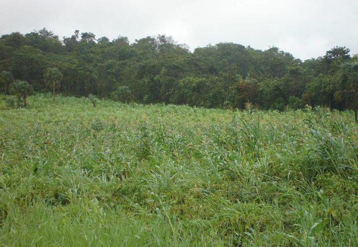 Los campesinos esperan que el gobierno los apoye implementando un programa emergente. (Carlos Yabur/SIPSE)