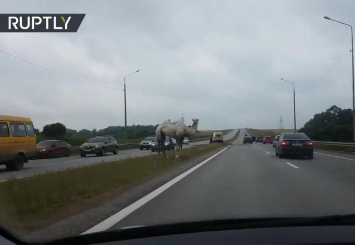 El camello sorprendió a los conductores. (Internet)