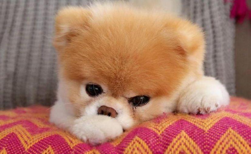 La muerte de Boo ha causado una gran conmoción en redes sociales, donde algunas otras célebres mascotas 'lamentaron' su pérdida. (Internet)