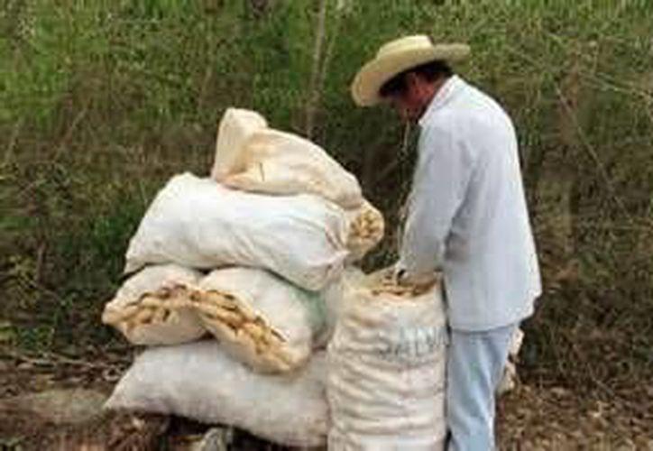 El maíz y frijol ya no es una alternativa económica para las familias. (Gerardo Amaro/SIPSE)