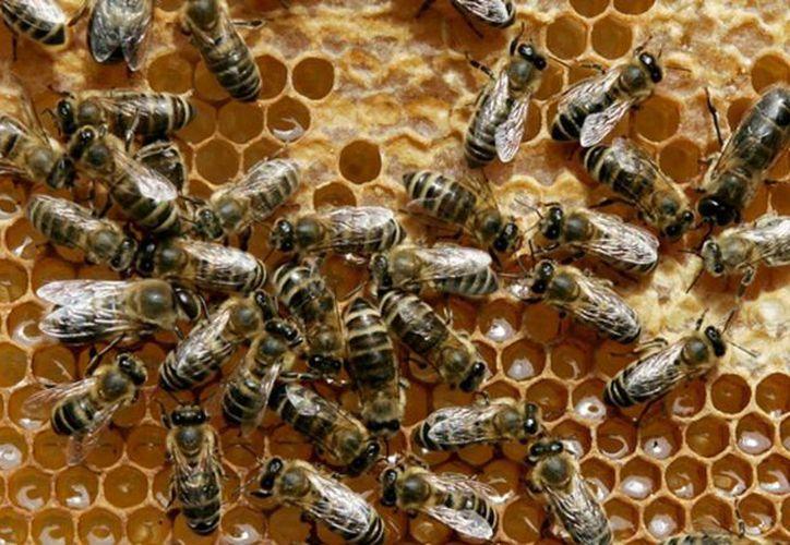El escarabajo puede afectar seriamente la producción de la miel. (Javier Ortiz/SIPSE)