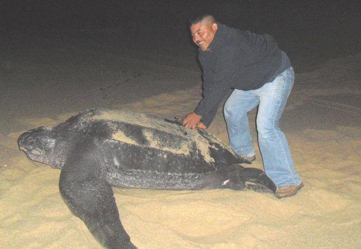 Tres tortugas marinas Laúd llegaron a playas cancunenses. (Tomás Álvarez/SIPSE)