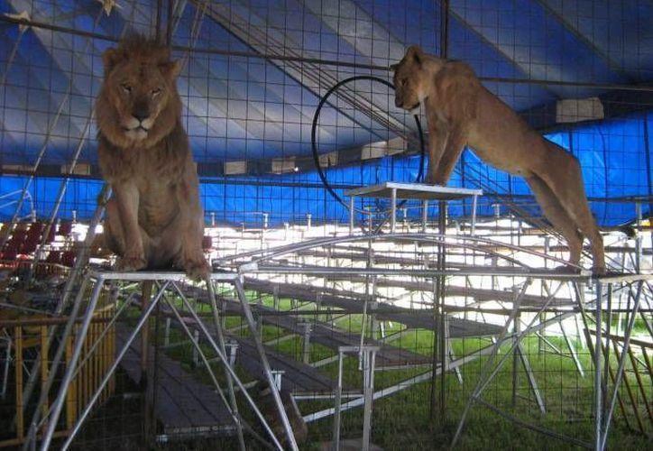 En ciudades como el Distrito Federal, ya quedó prohibido utilizar animales en espectáculos circenses. (Archivo/SIPSE)