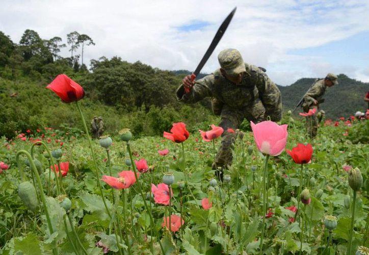 Guerrero amenaza con desplazar a Afganistán como el principal centro productos de amapola. Foto de contexto. (Bernandino Hernández/proceso.com.mx)