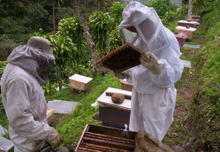 Pretenden que los productores obtengan miel orgánica para tener precios más competitivos. (Edgardo Rodríguez/SIPSE)