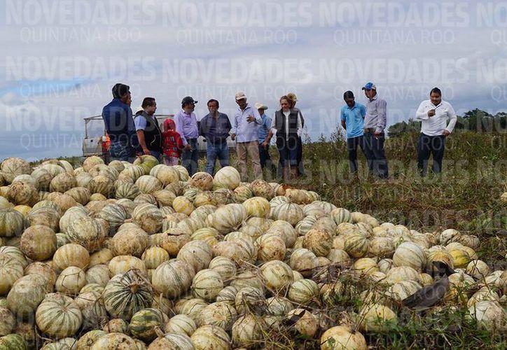 Más de mil 200 productores bacalarenses temen la pérdida de su cultivo.(Javier Ortíz/SIPSE)