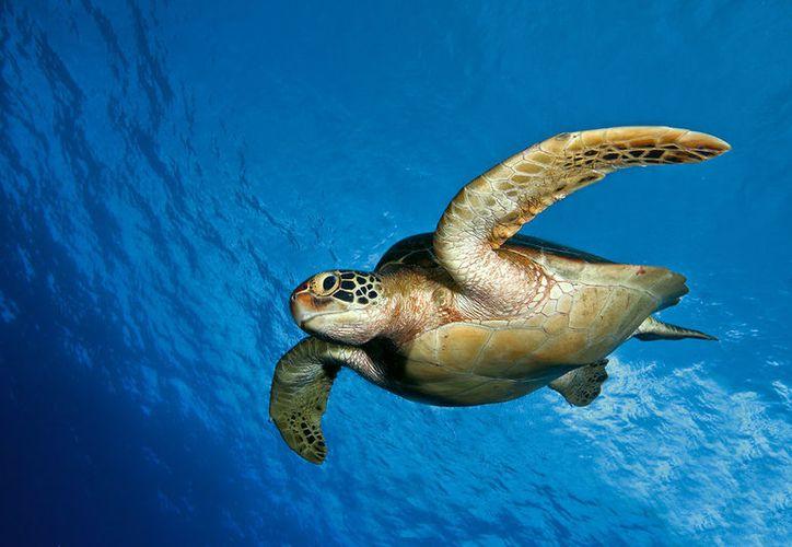 """""""Puede ser que por el calentamiento global el mar está más caliente y las tortugas verdes nadan más al norte"""", reveló Davis. (Foto: Contexto/Internet)"""