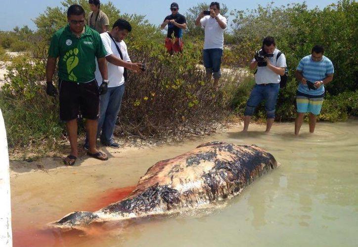 Un mamífero marino ya muerto recaló en las costas de Chuburná, Yucatán. (Gerardo Keb/SIPSE)