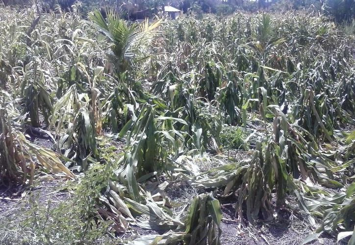 Productores bacalarenses han acudido al municipio a buscar apoyo, en virtud de que están perdiendo los cultivos de la presente temporada. (Javier Ortiz/SIPSE)