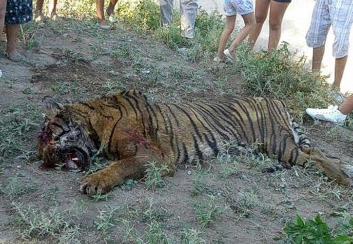 El tigre se trataba de un animal grande, adulto, de unos 200 kilos; estaba en buen estado y tenía las uñas cortadas, lo que es signo de que era un animal en cautiverio. Sin embargo, aseguró que el felino no residía en el pueblo.(lanacion.com.ar)
