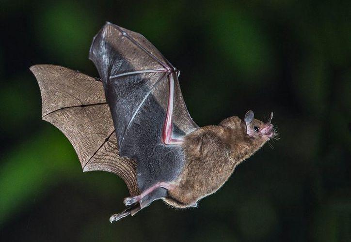 Científicos chinos identificaron el secreto de los murciélagos que portan virus altamente patógenos. (Foto: Contexto)