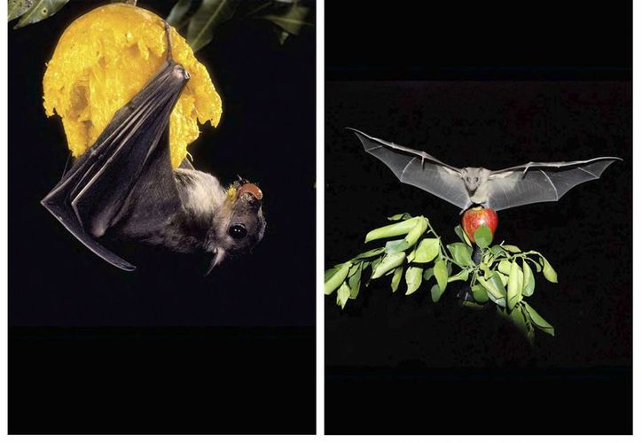 Los murciélagos utilizan sentidos como la visión y ecolocalización para orientarse, indica un estudio publicado en 'Nature'. (EFE)