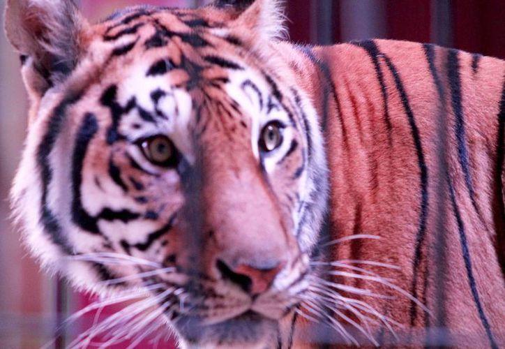 Los domadores de animales aseguran que el PVEM, al prohibir animales en circos, no los tomó en cuenta. (Archivo/Notimex)