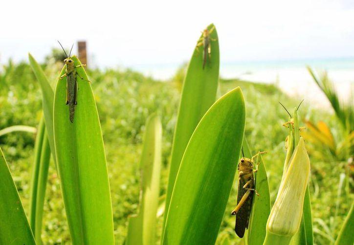 Productores de Playa del Carmen se dicen preocupados por la presencia de langostas en Punta Esmeralda. (Octavio Martínez/SIPSE)