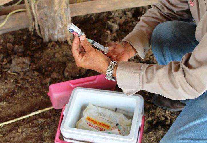 Autoridades agropecuarias se enfocarán en Huatusco, Reforma, Río Verde, Miguel Alemán, Otilio Montaño y Zamora, localidades en donde se han dado diversos casos de rabia paralítica bovina. (Edgardo Rodríguez/SIPSE)