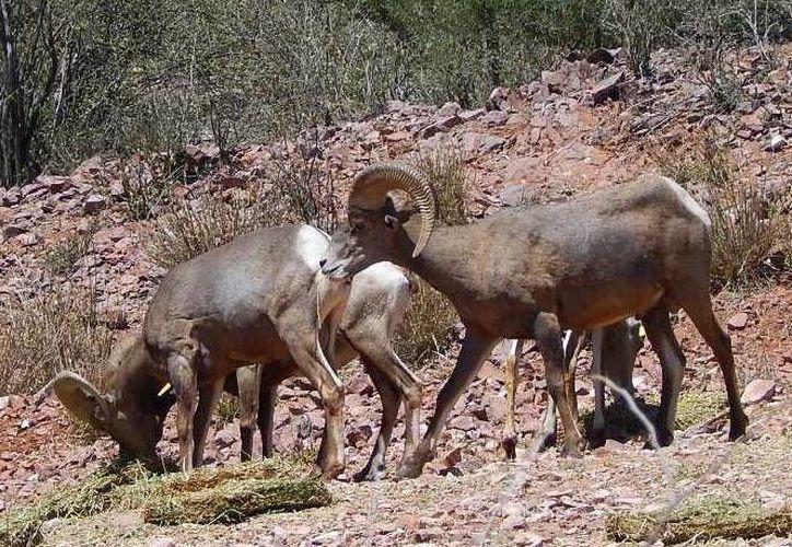 Imagen de la liberación de los 35 ejemplares de borrego cimarrón en la Sierra Libre, municipio Guaymas, Sonora.(semarnat.gob.mx)