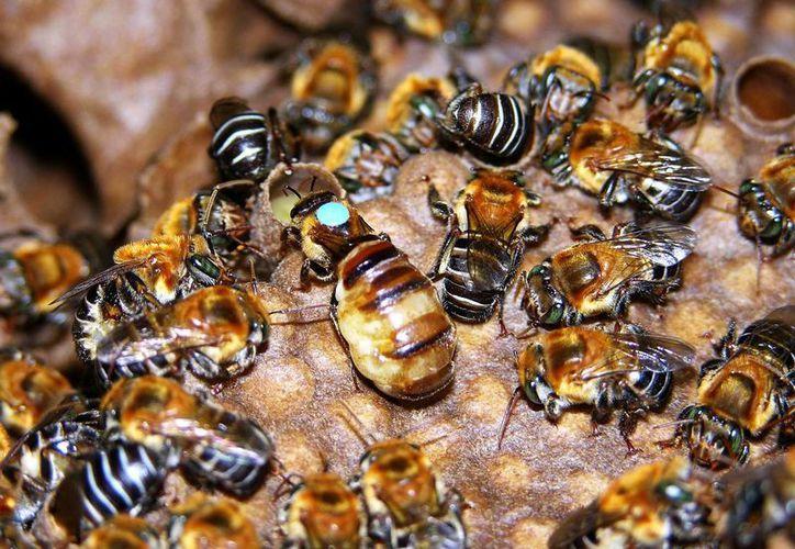 El rescate de abejas meliponas se realizará en Tulúm. (Foto ilustrativa/Internet)
