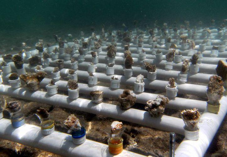 Los viveros consisten en la colocación de estructuras cuadrangulares hechas con tubos de PVC hidráulico. (Redacción/SIPSE)