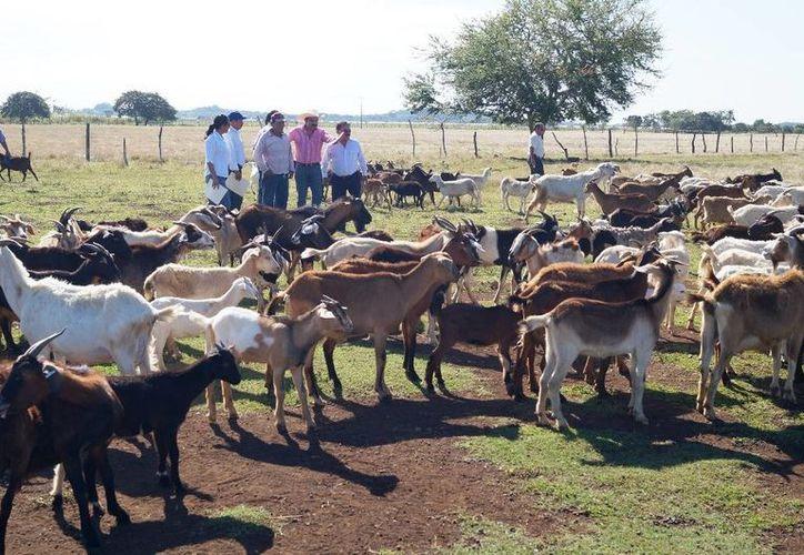 Como parte de los apoyos 105 fueron para adquisición de bovinos, 340 ovinos y 120 caprinos. (Egdardo Rodríguez/SIPSE)